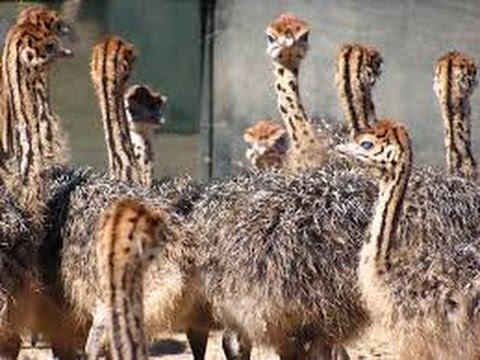 22bae82da88 2 & 3 months old Ostrich chicks available for sale +923459442750 Zain Ali  farming in Pakistan