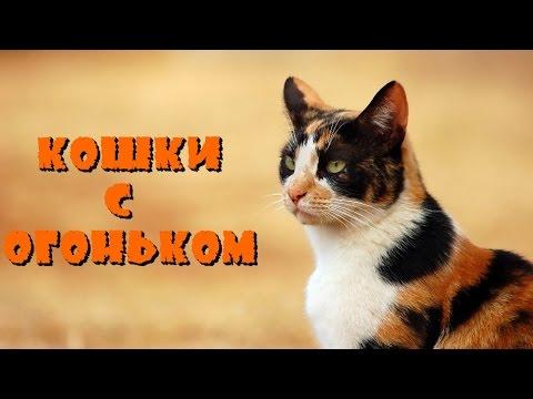 Кошки с огоньком. Черепаховый окрас кошек