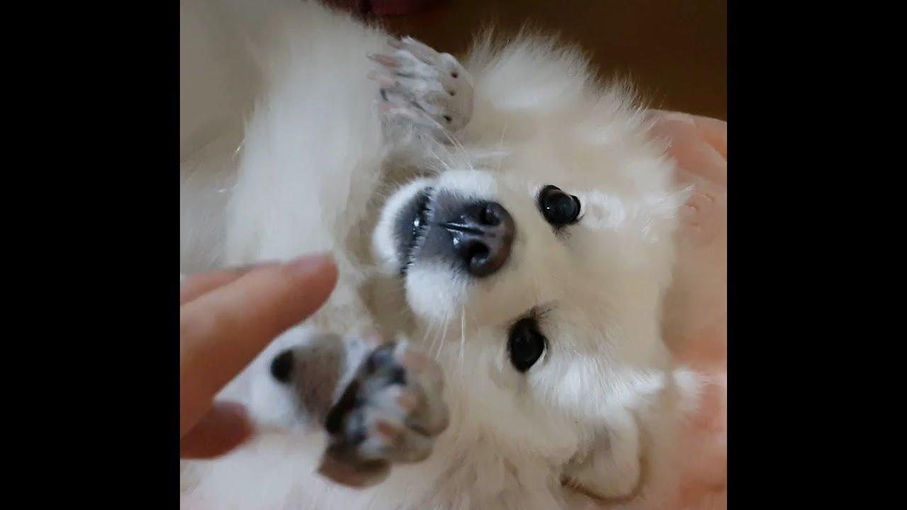 스피츠 강아지의 잔잔한 눈빛(무편집)