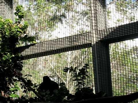 Alala, the Hawaiian Crow Video 2