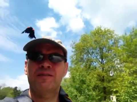 Attack of the Red Winged Blackbird.