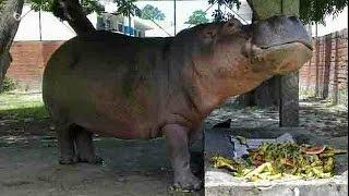 El Salvador: morte de hipopótamo icónico suscita vaga de indignação