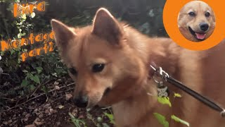 Finnish Spitz Montage part2
