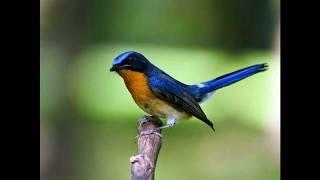 Suara Burung Tledekan sulingan pikat