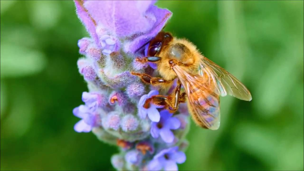 Pictures of Bees: Photo Gallery with Images