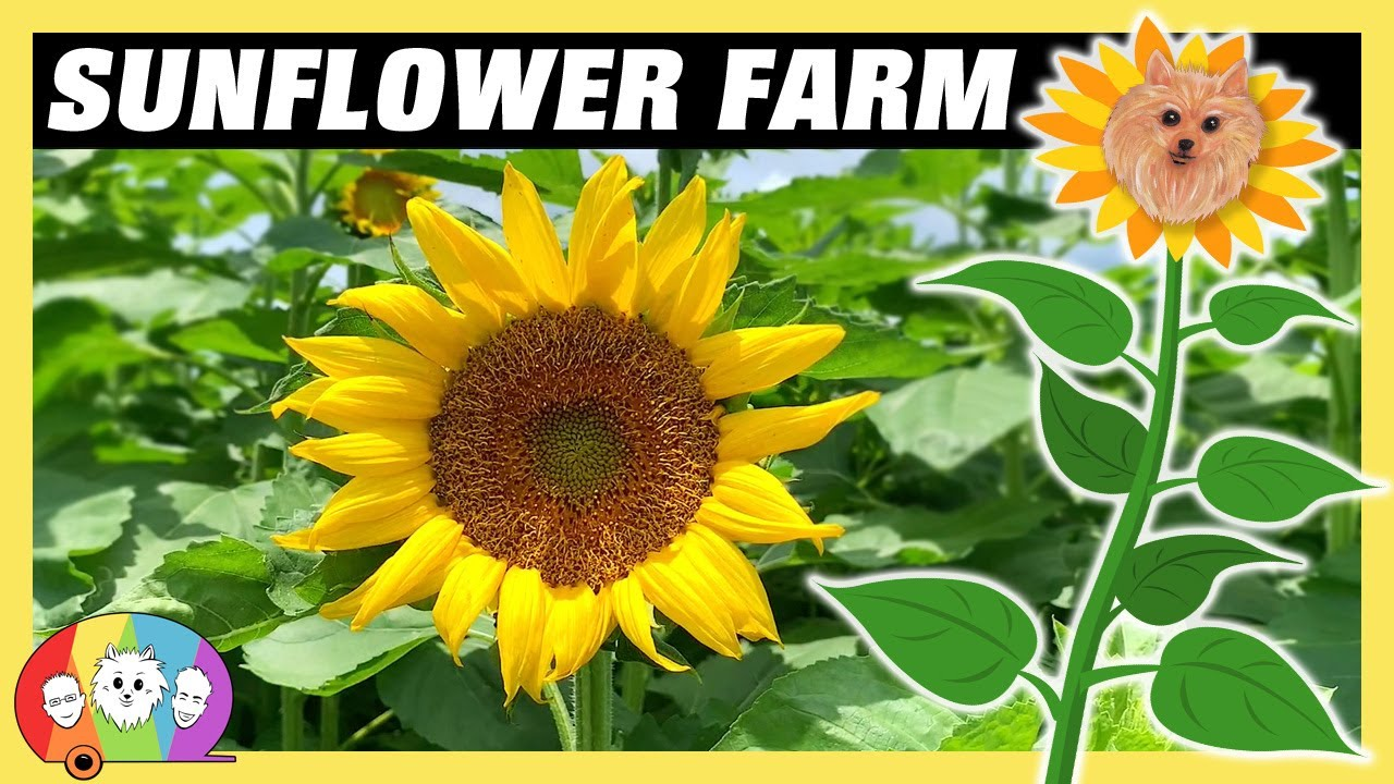 Sunflower Fields, Veggies, & Watermelons at Cannon Farms in Dunnellon Florida - RV Living Full Time!