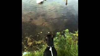 Staffordshire Bull Terrier Barking At Swans