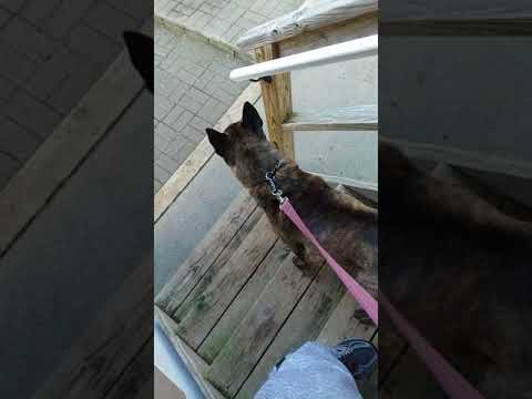 Dutch Shepherd/American Pitbull Terrier cross on high alert