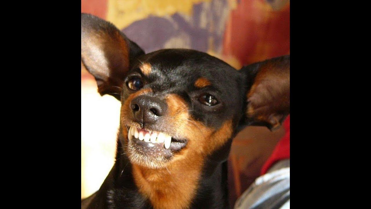 Dez Coisas Que O Cão Da Raça Pinscher Odeia