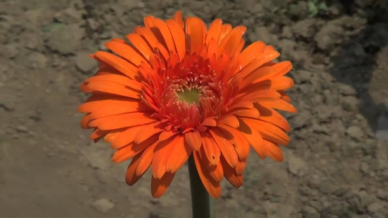 Gerbera daisy one of the most expensive flower in gerbera daisy one of the most expensive flower in bangladesh izmirmasajfo