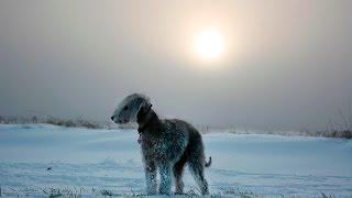 Порода собак Бедлингтон-терьер.Собака очень необычного вида.Похоже на овечка.Всем смотреть