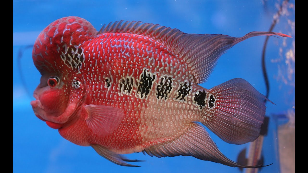 Flower Horn Fish red color - YouTube