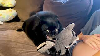 Schipperke Goes Absolutely Crazy Over New Toy