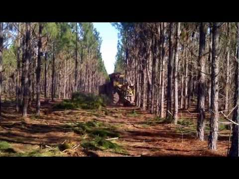 Planted Pine First Thinning