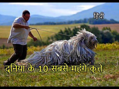 Top 10 Most Expensive Dogs (in Hindi) दुनिया के सबसे महंगे कुत्ते