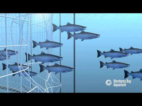 How Seafood is Farmed: Open Net Pens or Cages
