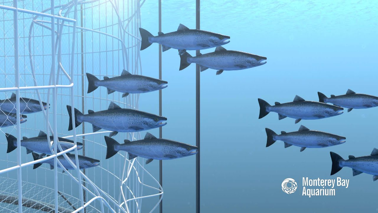 How seafood is farmed open net pens or cages youtube for What is fish farming