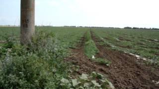 Выращивание арбуза под капельным орошением(Выращиваем арбуз 15 лет, под капельным орошением 5 лет Смотрите плейлист до конца, не забывайте голосовать,..., 2012-06-24T17:17:09.000Z)