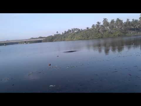 Cocodrilo en Barra de Santa Ana, Lázaro Cárdenas, Michoacan
