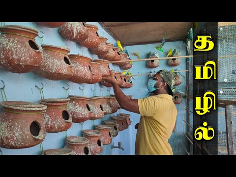 Budgies (love birds) Colony Breeding Farm Update | தமிழில் | 2020 | fancy birds chennai