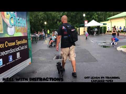 "6 Month old Pug ""Skunk"" / Best dog trainer/ Best dog trainer Orlando"