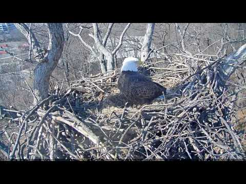 EAGLE CAM 2017 - Interesting Eagle Activity - ECC, MPDC - Washington, DC