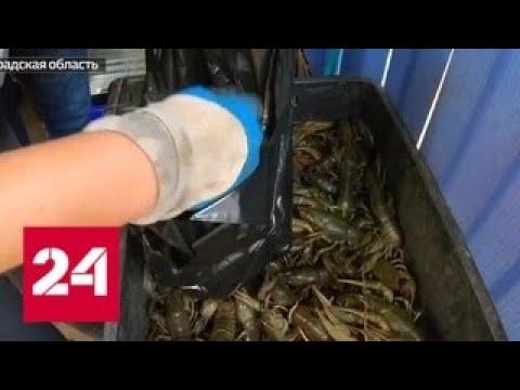 Как устроен нелегальный бизнес по продаже раков - Россия 24