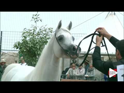 Menton 2016 - Senior Stallions ch