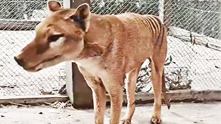 Kolorierte Aufnahmen von 1933: Video zeigt letzten lebenden Beutelwolf in Tasmanien