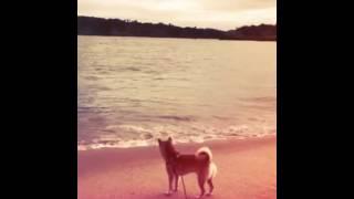 My July 27th, 2017  柴犬ショウin奥松島 thumbnail