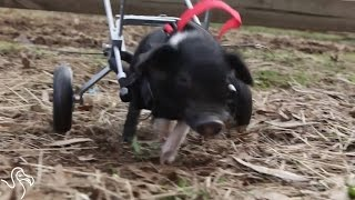 This Little Piggy Got A Second Chance, Now Nothing Can Stop Him