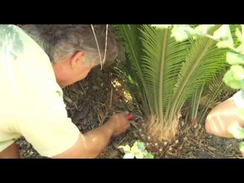 Transplanting A Cycad Palm - Prune Like A Pro - Youtube