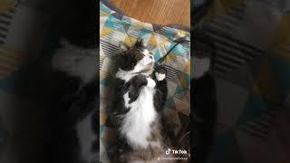 完全なる仰向けで爆睡する猫【ねこ かわいい】