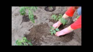 Sadzenie pomidorów, jak sadzić pomidory - how to plant tomatoes?