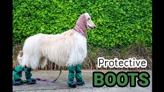 Afghan Hound dog learning to wear boots