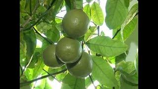 Красноярская семья выращивает дома настоящие цитрусы – лимоны и апельсины