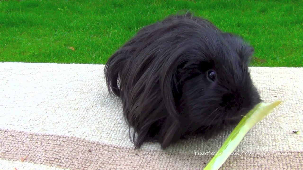 Long Haired Guinea Pig  Galhairs-9044