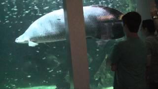 Large Arapaima in an Aquarium