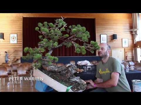 Peter Warren styles a Mugo Pine Bonsai