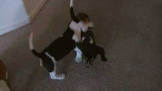 Basset Hound/beagle Puppies
