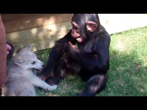 Baby Chimp and Wolf Pup Royal Rumble (Pre tiger cub footage)