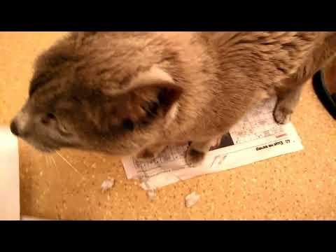 My oriental cat having fun tearing up newspapers / Моя кошка породы Ориентал любит потрошить газеты