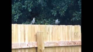 Mockingbird DanceOff