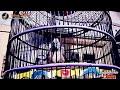 Sijantan Langsung Gacor Panjang Banget Suara Perkutut Betina Bangkok Gacor  Mp3 - Mp4 Download