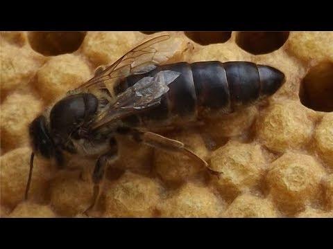 Смотреть Как пчелы поменяли старую матку. онлайн