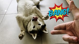 How To Teach Your Dog To PLAY DEAD Step By Step | SIBERIAN HUSKY Training Video