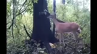 Призыв оленя.