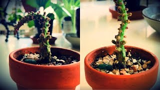OPUNTIA CACTI WINTER DORMANCY | Before & After First Water in 6 Months