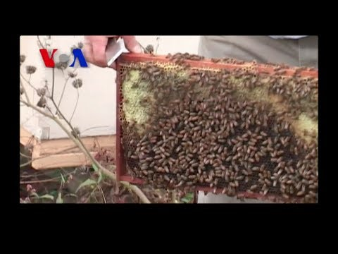 Mystery of the Disappearing Bees (VOA On Assignment June 28)