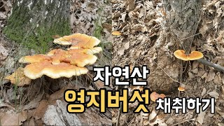 자연산 영지버섯 채취하기